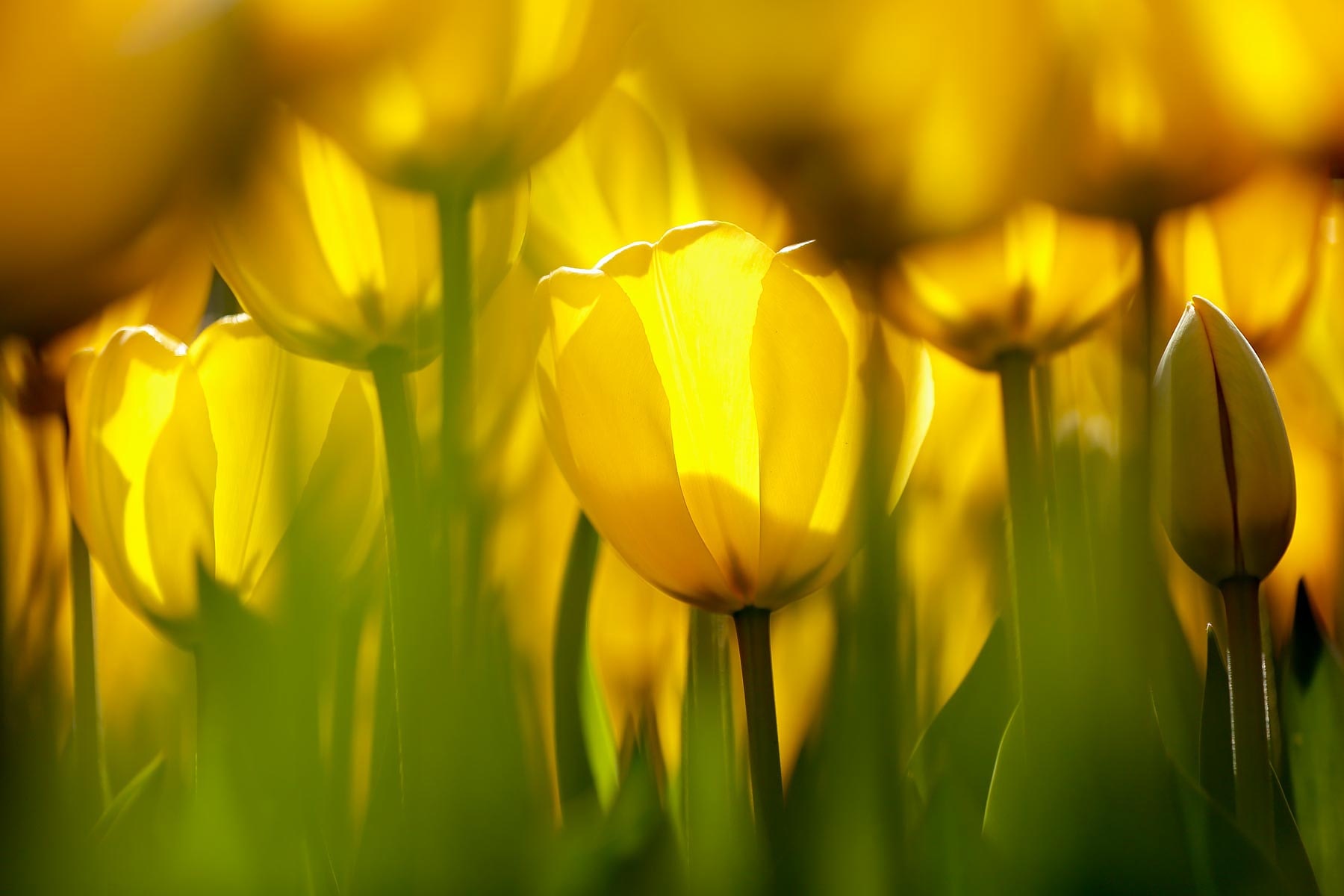 Tulpen / Tulips @ Lisse