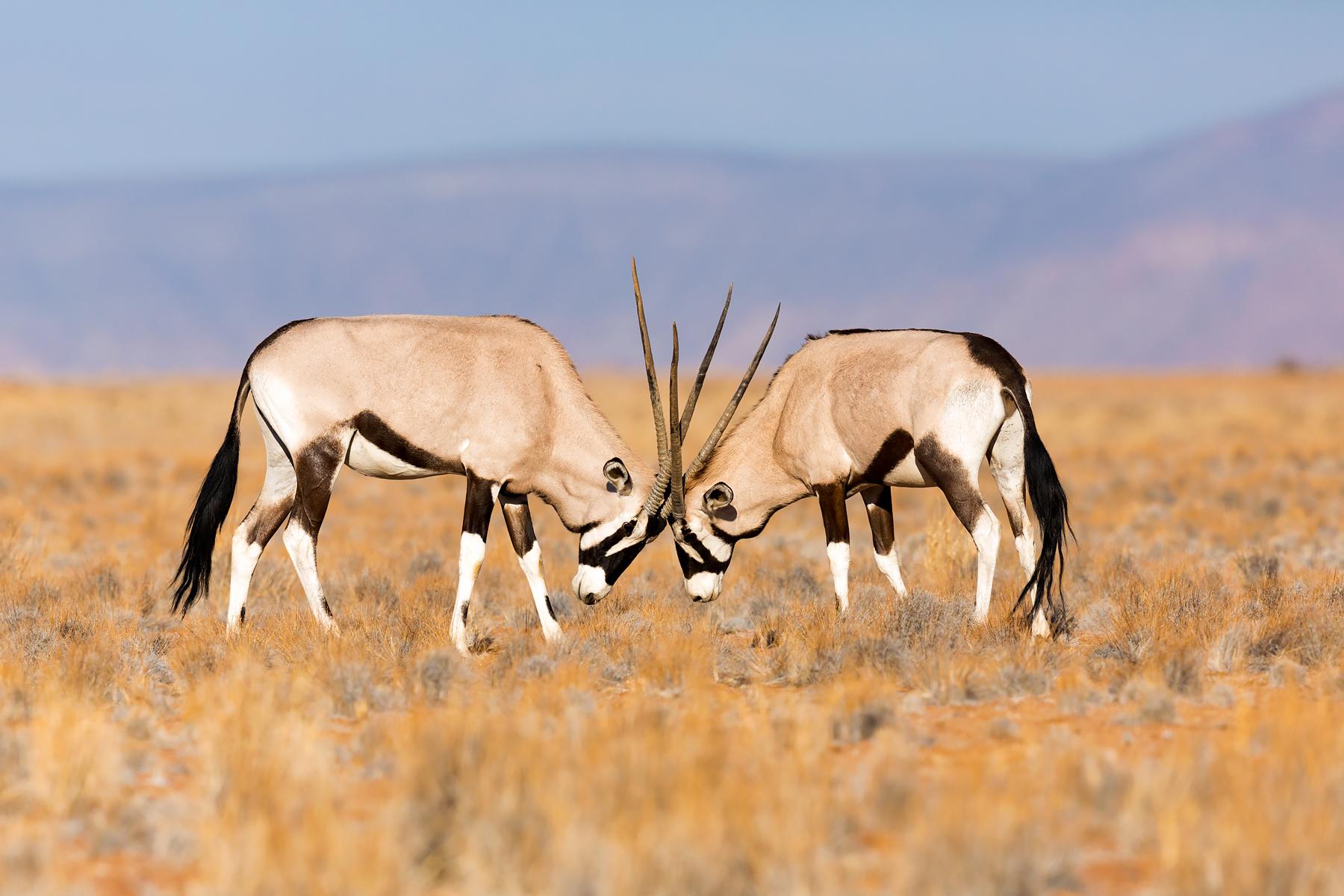 Oryx gazella / Gemsbok @  Namibië