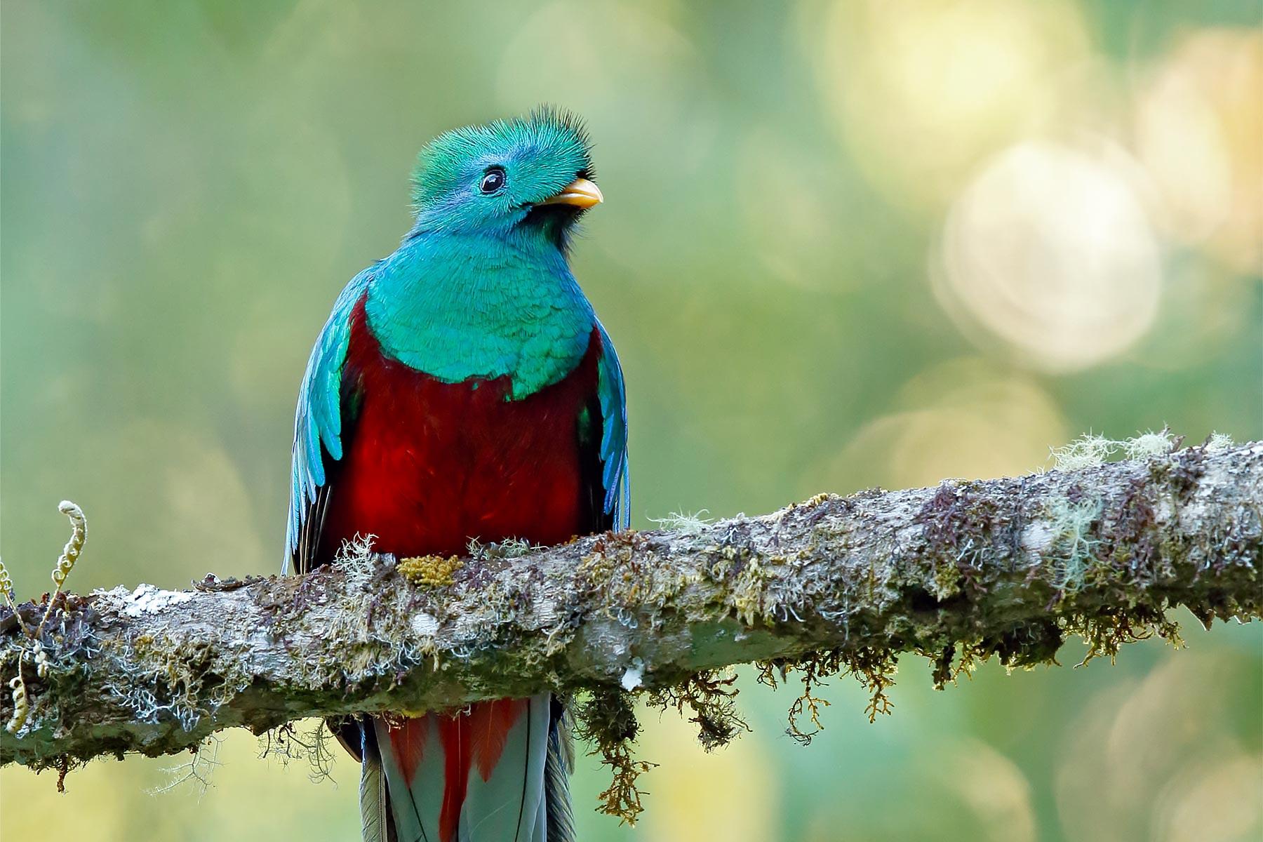 Resplendent Quetzal @ Costa Rica