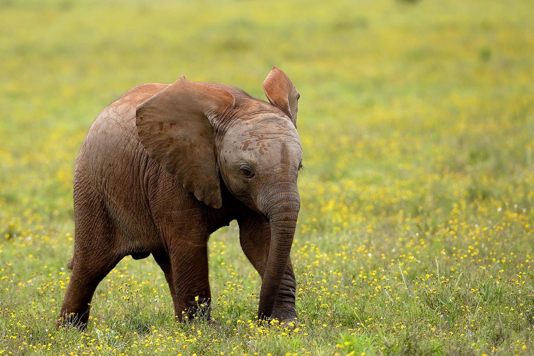 African Elephant @ Addo Elephant National Park