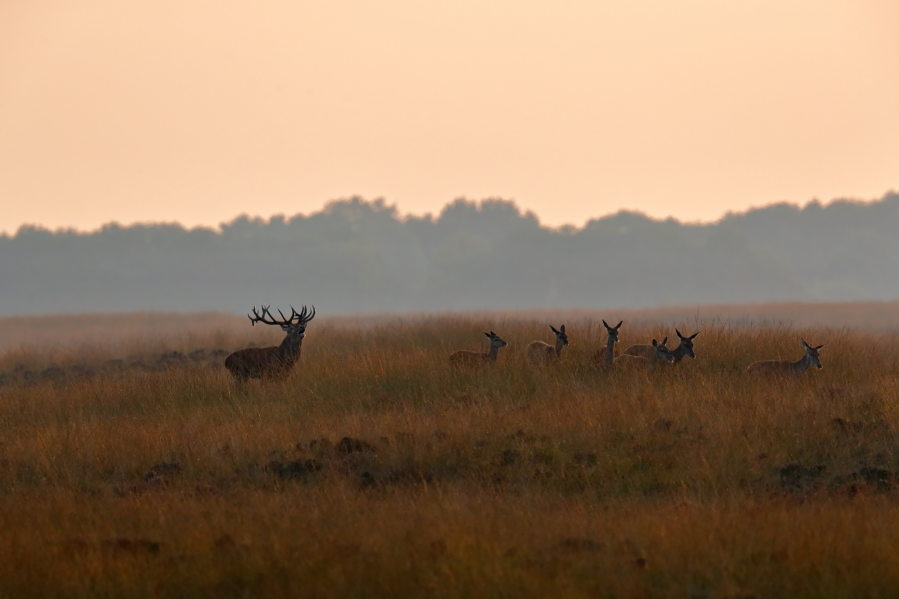 Red Deer @ National Park De hoge Veluwe