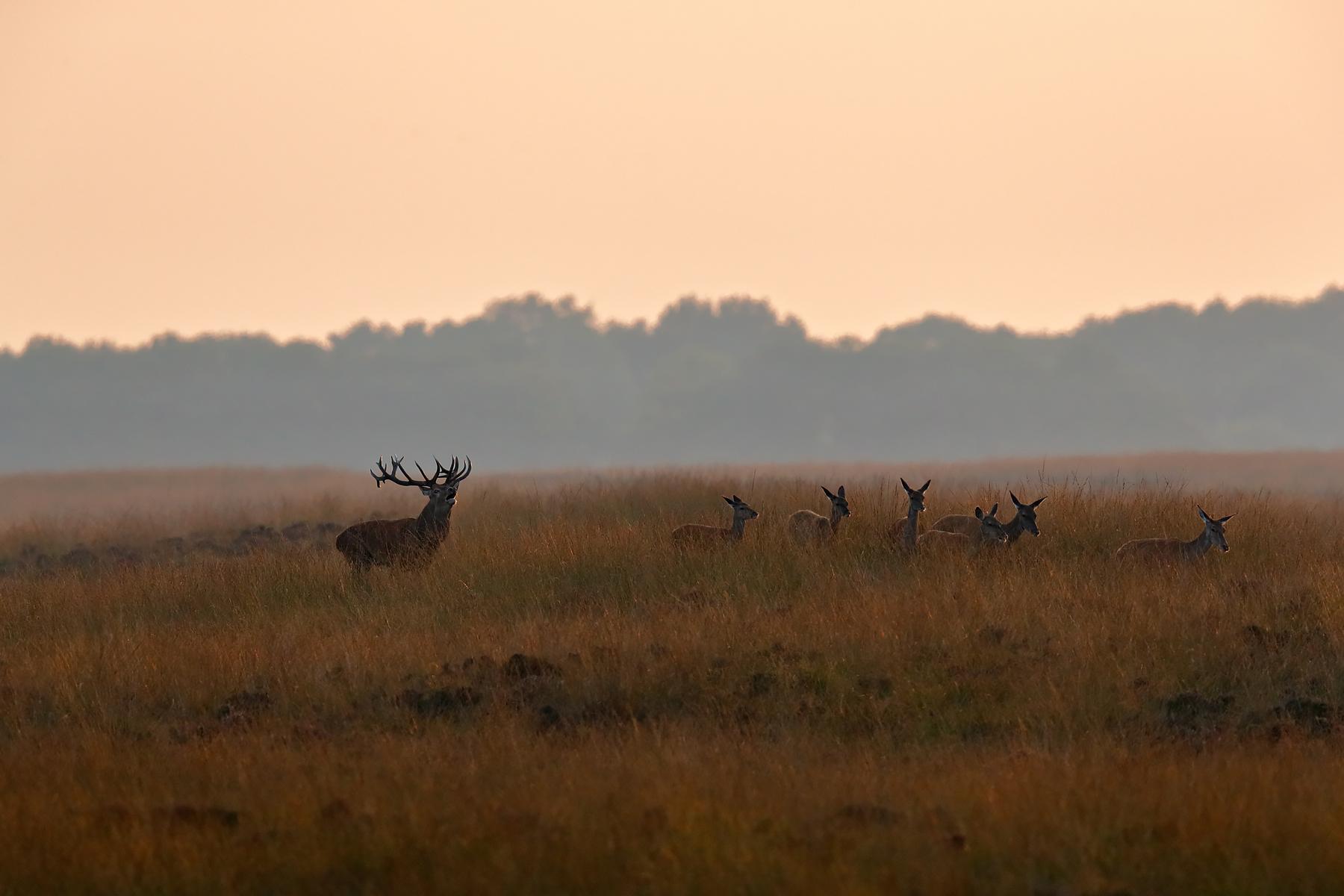 Red Deer @ National Park De hoge Veluwe