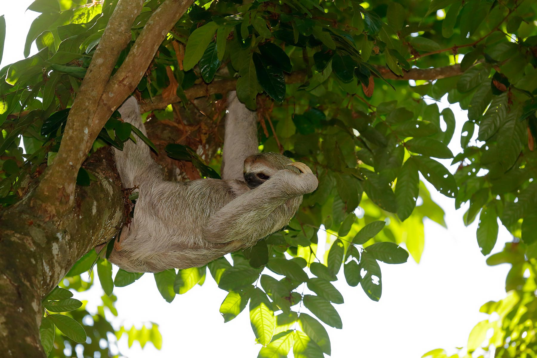 Sloth / Luiaard @ Costa Rica