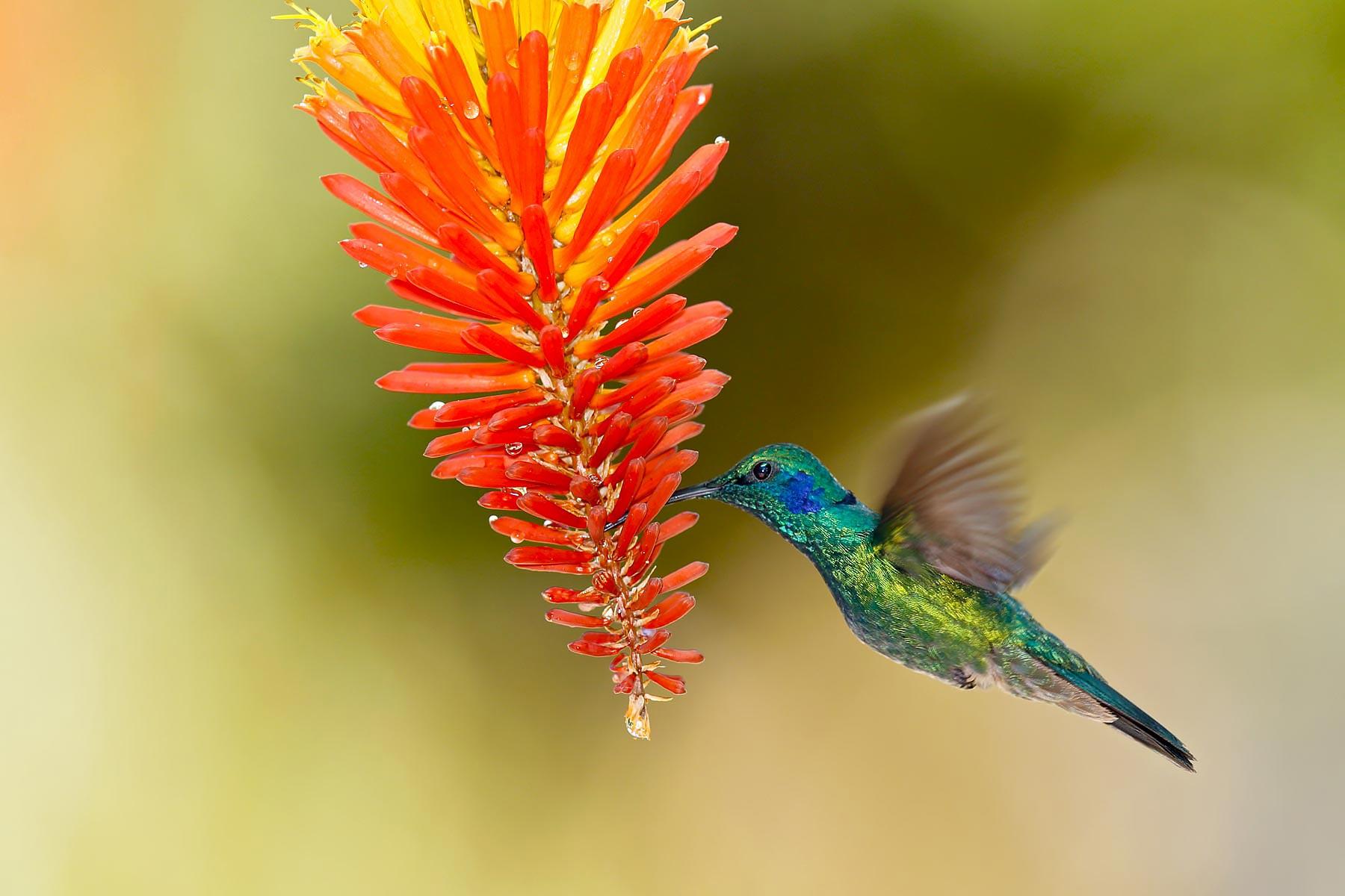 Green Violet-Ear Hummingbird / Groene violetoorkolibrie @ Costa Rica