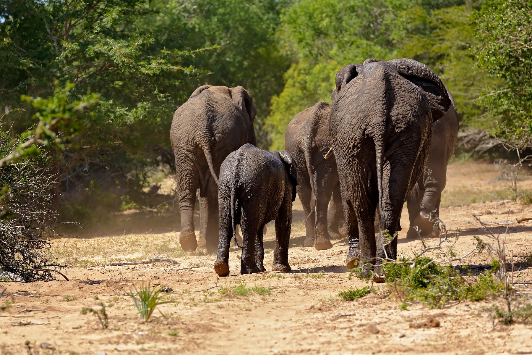 African Elephant @ Kruger National Park