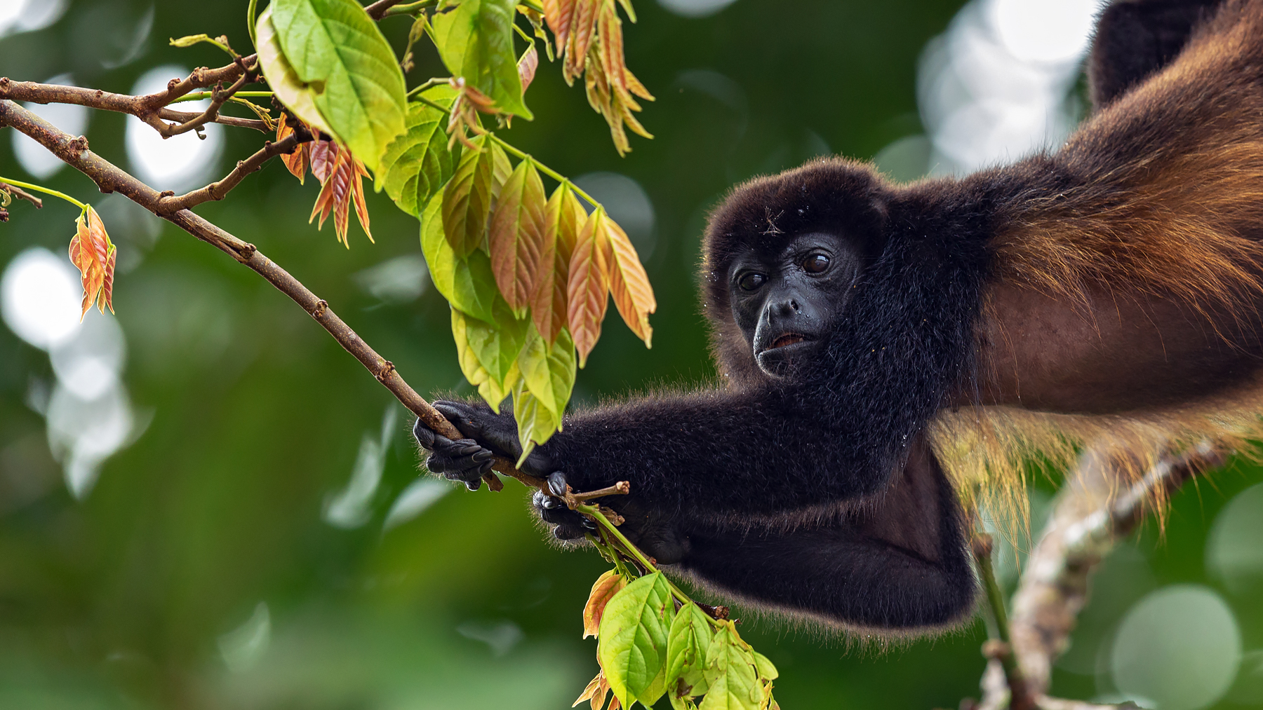 Mantled Howler Monkey @ Tortuguero National Park - Costa Rica